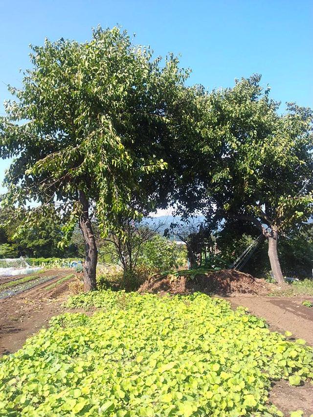 大きな桑の木 ドリームファーム