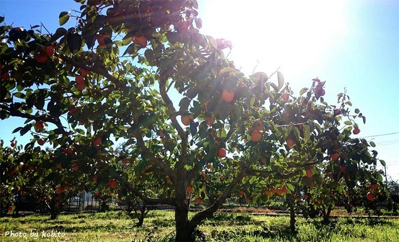 収穫前の柿の木