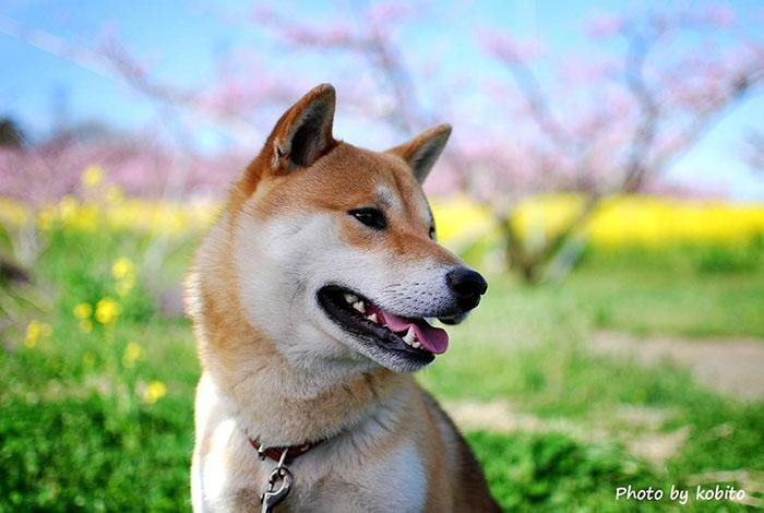 満開の桃と菜の花の中で。4月初旬頃、あたり一面ピンクの絨毯でまさに桃源郷。桜、李、桃と春は花盛りの山梨。待ち遠しい。