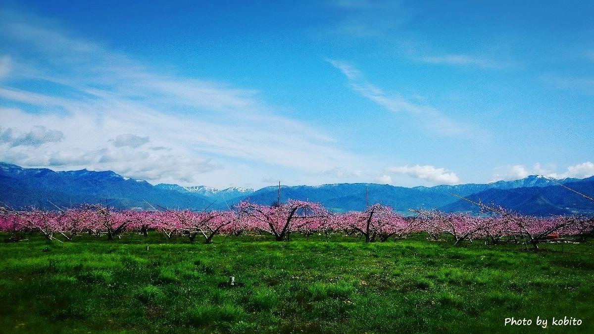 まさに桃源郷。 開花が遅れましたが、今年も美しい景色を魅せてくれました。